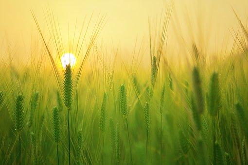 barley-field-1684052__340.jpg